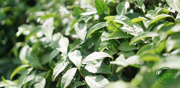 خواص-چای-سبز-ایرانی-برای-کرونا